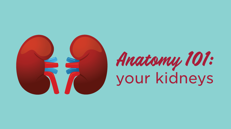 Anatomy 101: your kidneys (infographic)