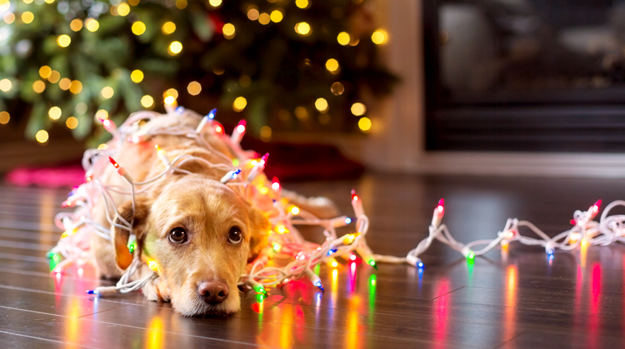 Pet allergies and the holidays